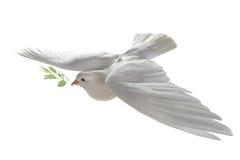 Paloma blanca Imágenes de archivo libres de regalías