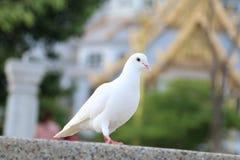 Paloma blanca Imagen de archivo libre de regalías