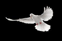 Paloma blanca fotos de archivo libres de regalías