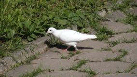 Paloma blanca Fotos de archivo
