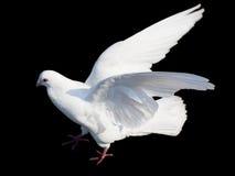 Paloma blanca aislada en negro Fotos de archivo libres de regalías