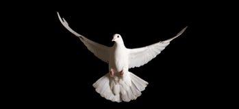 Paloma blanca con las alas extendidas aisladas en negro Fotografía de archivo