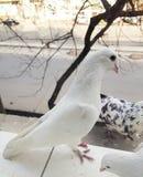 Paloma blanca criada en línea pura que se sienta en la ventana Foto de archivo