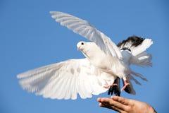 Paloma blanca a disposición Imagenes de archivo