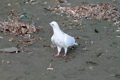 Paloma blanca en una arena fotografía de archivo libre de regalías