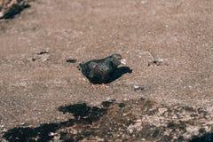 paloma Paloma blanca libre que camina a lo largo de paloma de la calle una Paloma importante Paloma seria Paloma bajo luz del sol fotos de archivo
