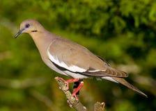 paloma Blanco-coa alas fotografía de archivo libre de regalías