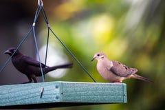 Paloma Blanco-coa alas hermosa en alimentador del pájaro Fotos de archivo