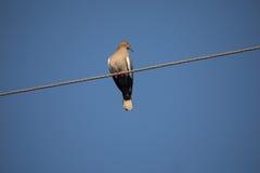 Paloma coa alas blanca Fotografía de archivo