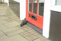 Paloma (Columbidae) que intenta entrar en la tienda Imagen de archivo libre de regalías