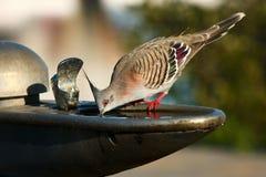 Paloma con cresta que bebe del tazón de fuente del agua imagen de archivo