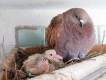 Paloma con el pequeño polluelo Fotos de archivo libres de regalías
