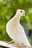 Paloma copetuda blanca Fotografía de archivo
