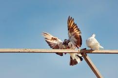 Paloma criada en línea pura hermosa con las alas separadas fotografía de archivo libre de regalías