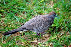 Paloma de Kauai y de la cebra fotos de archivo