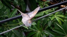 Paloma de la cebra que separa el ala para bañarse en la lluvia metrajes
