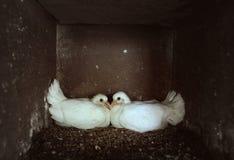 Paloma de los polluelos Fotos de archivo libres de regalías