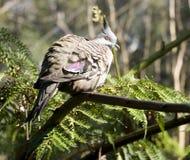 Paloma de madera australiana Imagen de archivo