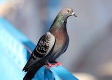 Paloma de Parisinian, ciudad de París aviar La paz se zambulló en las calles de la ciudad francesa famosa Imagenes de archivo