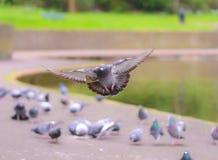 Paloma del aterrizaje en el parque A1 Fotos de archivo libres de regalías