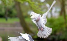 Paloma del aterrizaje en el parque A5 Fotos de archivo libres de regalías