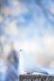 Paloma del blanco fotos de archivo