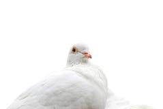Paloma del blanco Foto de archivo libre de regalías