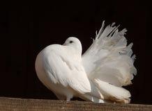 Paloma del blanco Foto de archivo