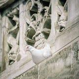 Paloma del blanco Imagen de archivo