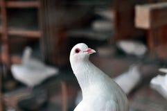 Paloma del blanco Imagenes de archivo