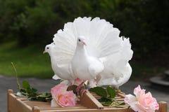 Paloma del blanco - boda Imágenes de archivo libres de regalías