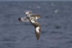 Paloma del cabo que vuela sobre el Océano Atlántico en un soleado Imagen de archivo