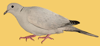 Paloma del cuello del anillo Imagen de archivo