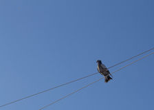 Paloma del gris que se sienta en una cuerda Fotos de archivo libres de regalías