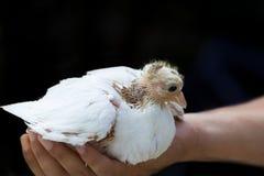 Paloma del polluelo Foto de archivo libre de regalías