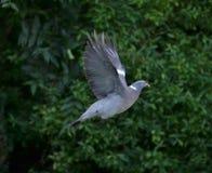 Paloma del vuelo Foto de archivo libre de regalías