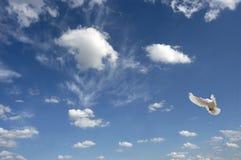 Paloma del vuelo Imagen de archivo libre de regalías