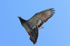 Paloma del vuelo con el cielo azul imagen de archivo
