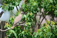 Paloma en árbol Foto de archivo libre de regalías