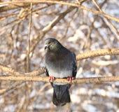 Paloma en bosque del invierno Fotos de archivo libres de regalías