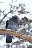 Paloma en bosque del invierno Imagenes de archivo