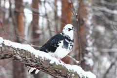 Paloma en bosque del invierno Foto de archivo libre de regalías