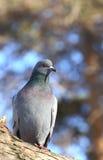 Paloma en bosque del invierno Imagen de archivo libre de regalías