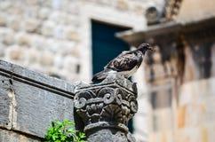 Paloma en columna en la ciudad vieja de Dubrovnik Fotografía de archivo libre de regalías