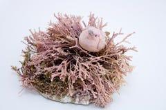 Paloma en coral imagen de archivo libre de regalías