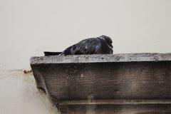 Paloma en cornisa Foto de archivo