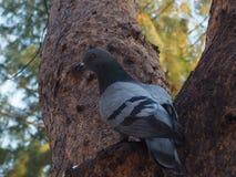 paloma en el árbol Foto de archivo libre de regalías