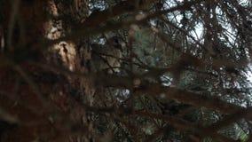 Paloma en el árbol de la picea almacen de video