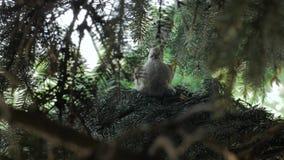 Paloma en el árbol de pino metrajes