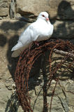 Paloma en el alambre de púas Imagen de archivo libre de regalías